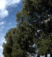 8c_Binsey_poplars_8c.jpg